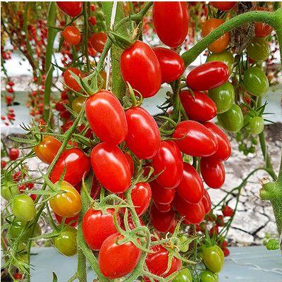 Semillas de Tomate indeterminado