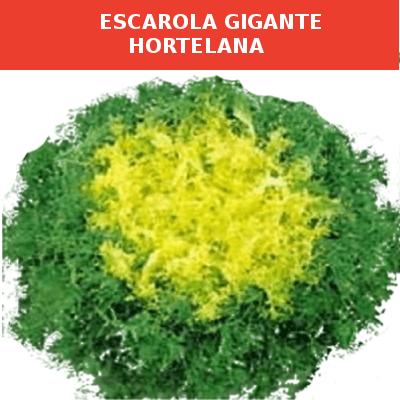 Semillas Escarola Gigante Hortelana