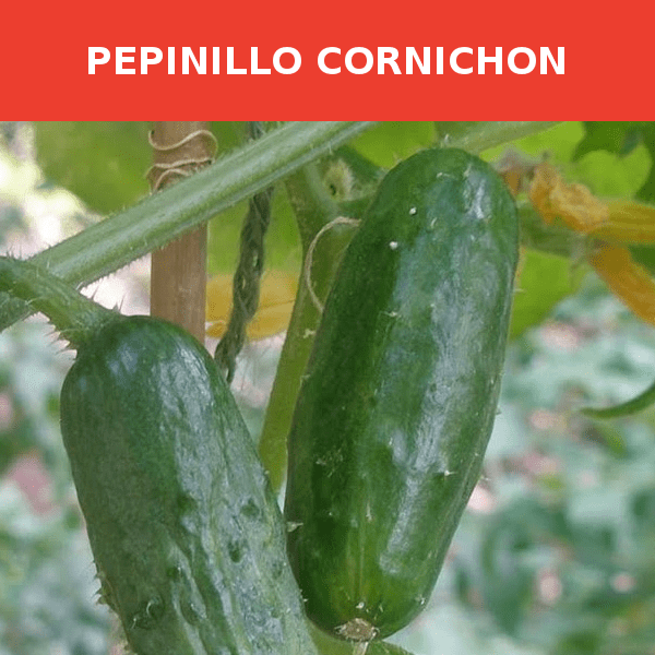 Semillas Pepinillo Conichon