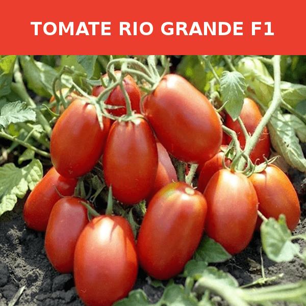 Semillas Tomate Rio grande F1