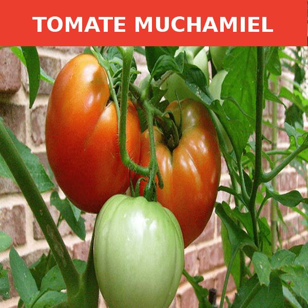semillas-tomate muchamiel