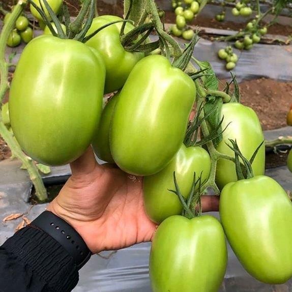 Plantel de Tomate injertado Bestial (pera caña)