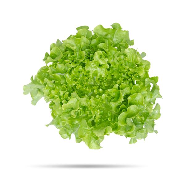 Plantel de Lechuga Hoja roble verde