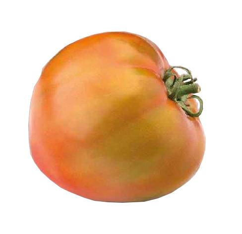 Plantel de Tomate híbrido Optima-Valenciana (redonda piel fina)