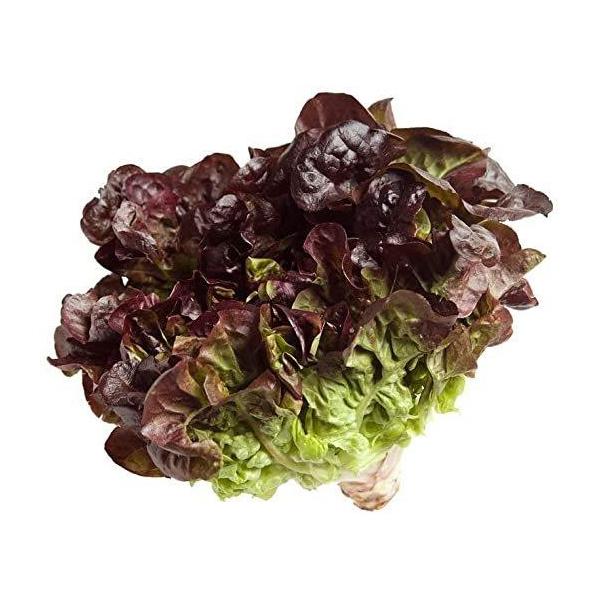 Kopfsalatpflanze der roten Eiche