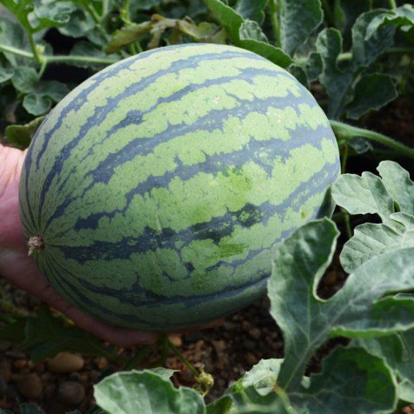 Gepfropfte runde Wassermelonenpflanze (nur Bestäuber)